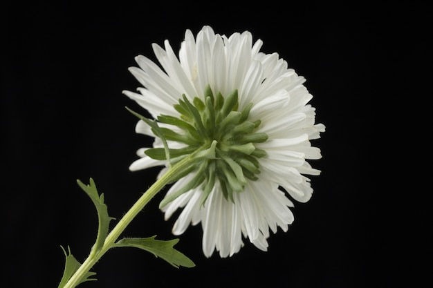White aster flower isolated on black