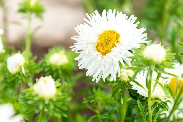 Белые цветы astras, растущие в саду.