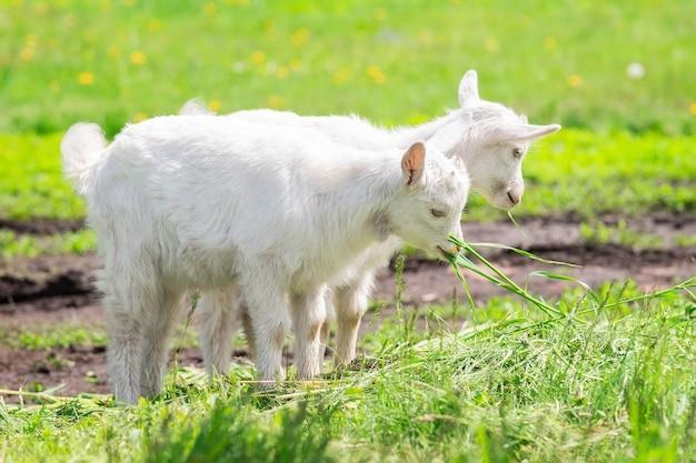 화창한 날에 푸른 잔디에 흰색 아기 염소