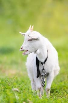 Белый козленок на зеленой траве