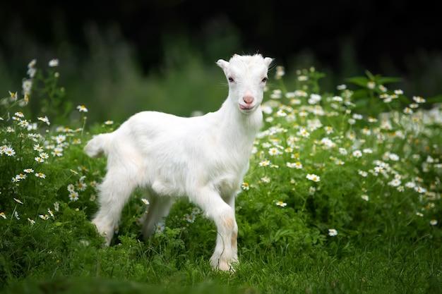黄色い花と緑の草の上に立っている白い赤ちゃんヤギ