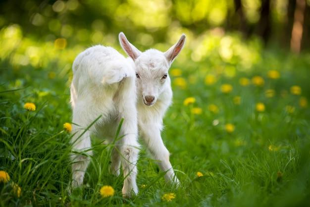 노란 꽃과 푸른 잔디에 서있는 흰색 아기 염소