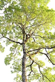 白い背景の木