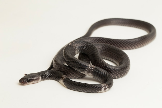 White-banded wolf snake or malayan banded wolf snake