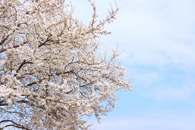 春の青い空を背景に桜の白い美しい咲く木。春のコンセプトです。