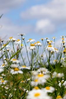 푸른 하늘에 대 한 흰색 아름 다운 카모마일 꽃