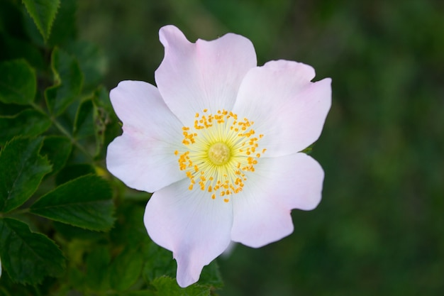 흰색 아름다운 장미 엉덩이 꽃