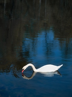 짙은 푸른 호수 물에 흰색 아름다운 sawn 호수 동물군 흰 새 배경을 닫습니다