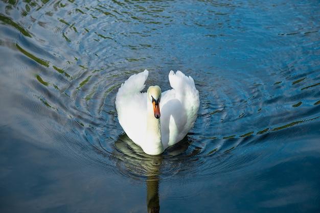 紺色の湖の水に白い美しいのこぎりでクローズアップ湖の動物相白い鳥の背景