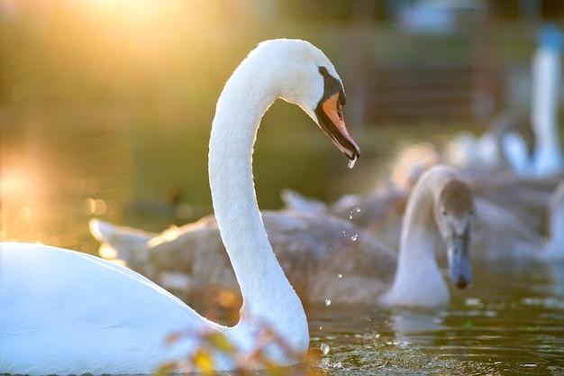 夏に湖の水の上を泳ぐ白い美しい白鳥。