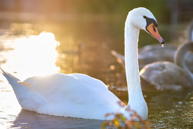 Белый красивый лебедь, плавающий в воде озера летом.