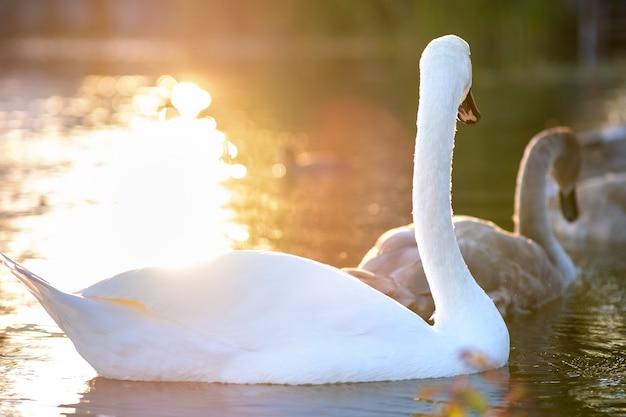 여름에 호수 물에서 수영하는 하얀 아름다운 백조.