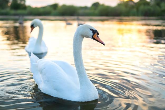 Белые красивые лебеди плавают в воде озера летом.