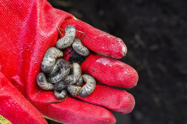 White beetle larvae in the farmer's hand on the background of the soil. may beetle larva. agricultural pest. high quality photo