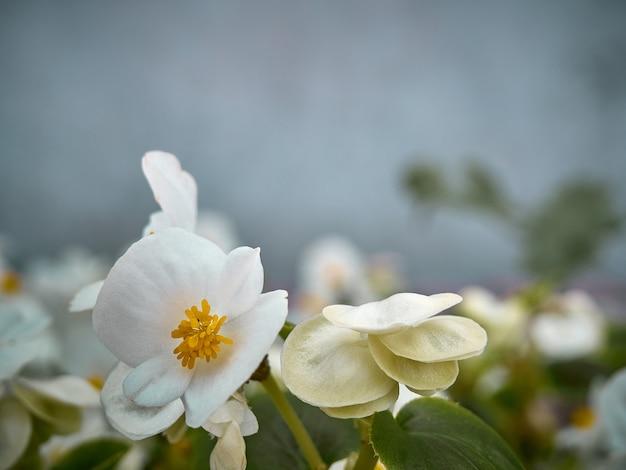 정원에서 흰색 베고니아입니다.