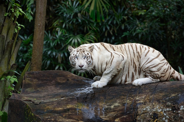 White bengal tiger crawls in a jungle