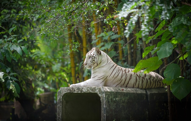 White bengal tiger resting in jungle