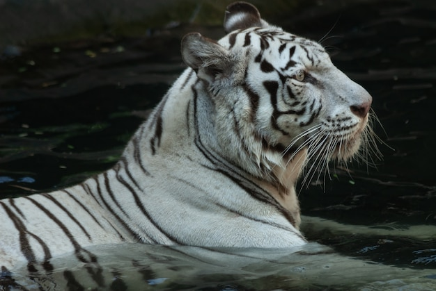 White bengal tiger slowly wading in shallow water