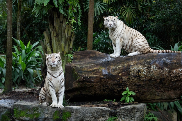 White bengal tigers in a jungle