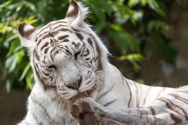 White bengalensis tiger close up portrait licking paw