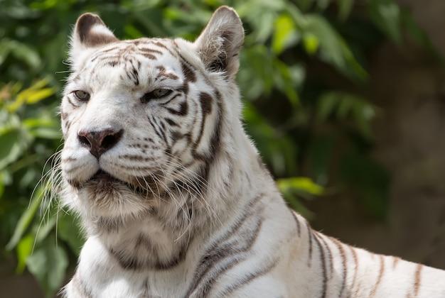 White bengalensis tiger close up portrait