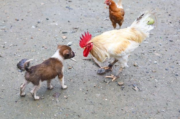 Белый бетонг цыпленок атакует коричневого щенка в саду фермы азии после дождливого дня