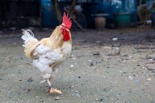 White betong chickken is stay in asia farm garden after rainny day