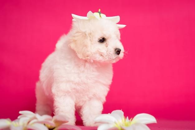 花とピンクの背景の白いビション子犬。
