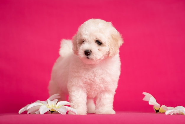 White bichon puppy on a pink background with flowers.