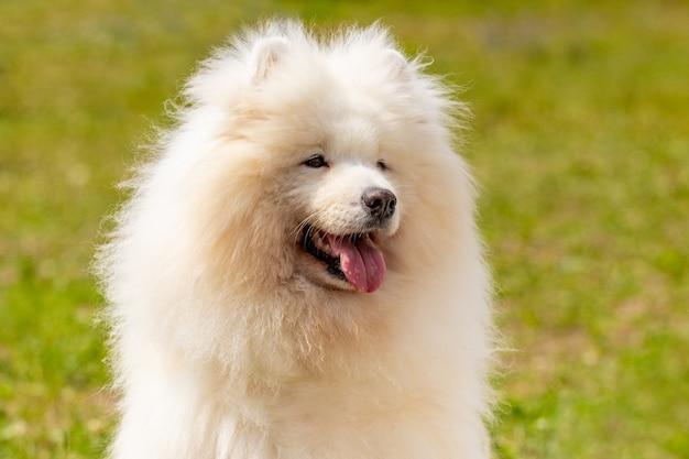 白い大きなふわふわ犬種サモエドは、緑の草を背景に晴れた天気でクローズアップ