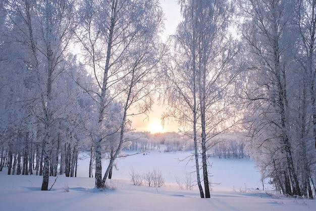 冬の美しい夕日を背景に白い雪に覆われた白樺の森。