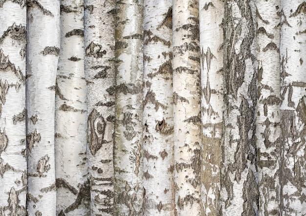 나무에서 흰 자작나무 줄기 배경
