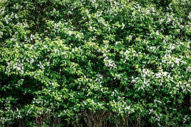 White bird cherry blooming in spring
