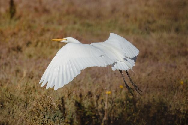 昼間に茶色の芝生の上を飛んでいる白い鳥