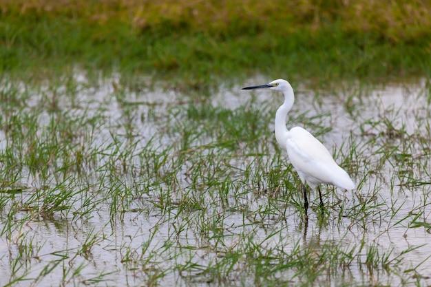 ケニアのサファリで、白い鳥が水に立っています。