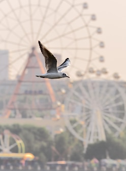 A white bird with outstretched wings in flight against the blurry background of a ferris wheel