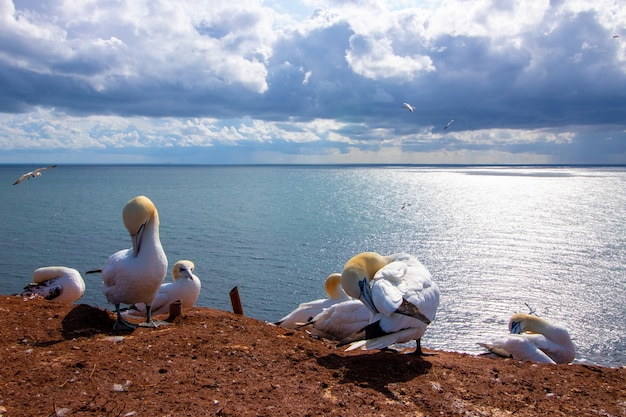 White birds with yellow heads on the ground and the sea in the scene
