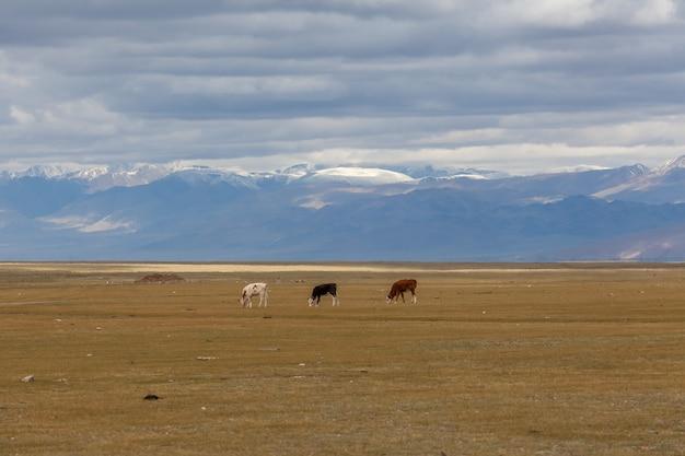 Белые черные и коричневые телята пасутся на лугах горного алтая. россия.