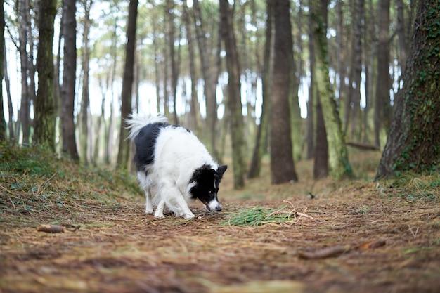 Border collie bianco e nero in un paesaggio forestale