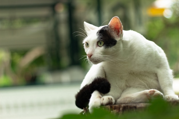 White and black cat is cleaning himself