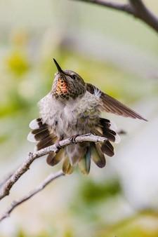 White and black humming bird