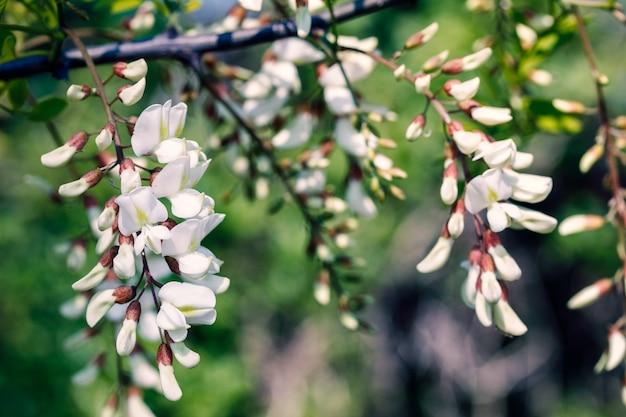 시골 길에 흰색 검은 메뚜기 꽃
