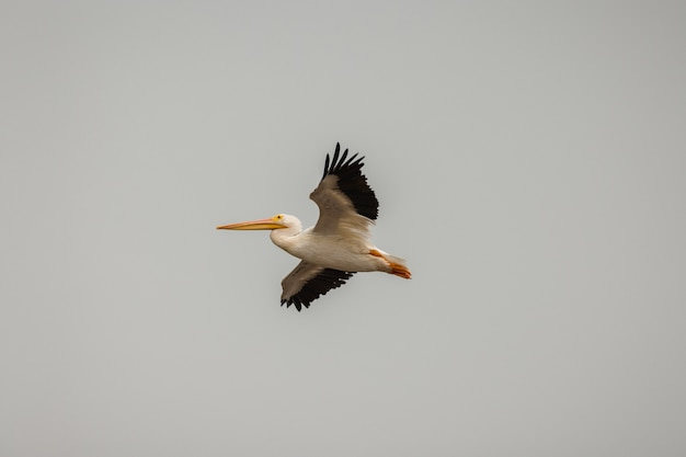 White and black pelican in the sky