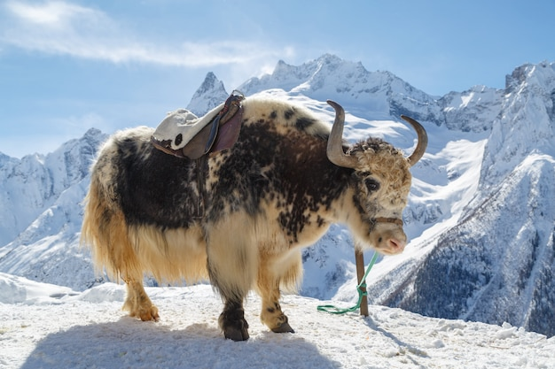 White-black yak stands tethered against a background of mountains
