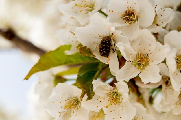 Белое цветущее вишневое дерево на ветке весеннего дерева