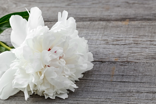 White blooming peony flower on the background of the old boards with texture. the plant is photographed macro.