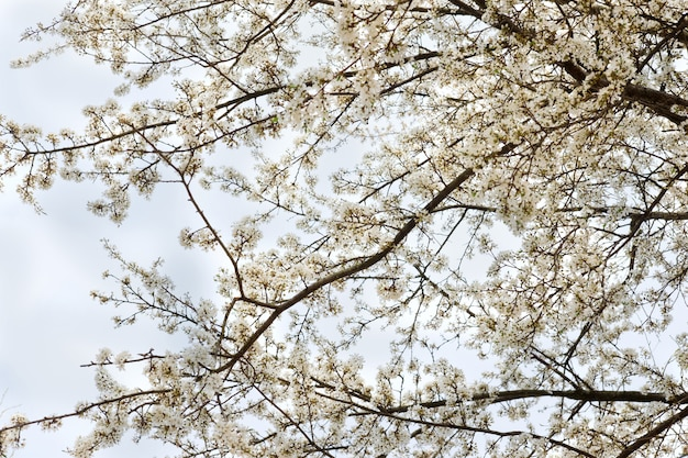 春の青空を背景に桜の白い咲く木