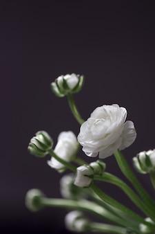 繊細な咲く花の暗い静物にラナンキュラスの花の白い花。