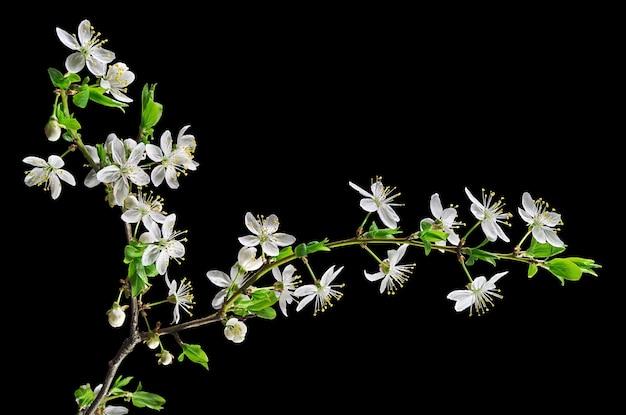블랙에 고립 된 흰 꽃 벚꽃 매화