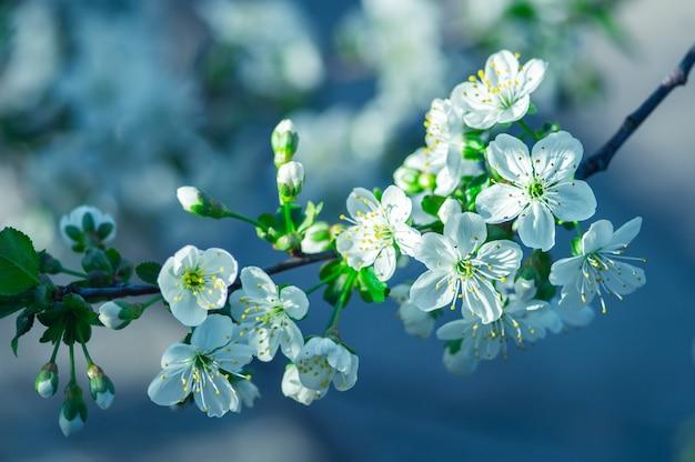 White blossom flowers on tree in springtime